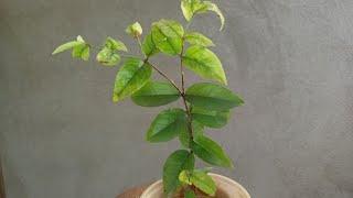 #Aprenda plantar jabuticaba por semente que produz em 2 anos#