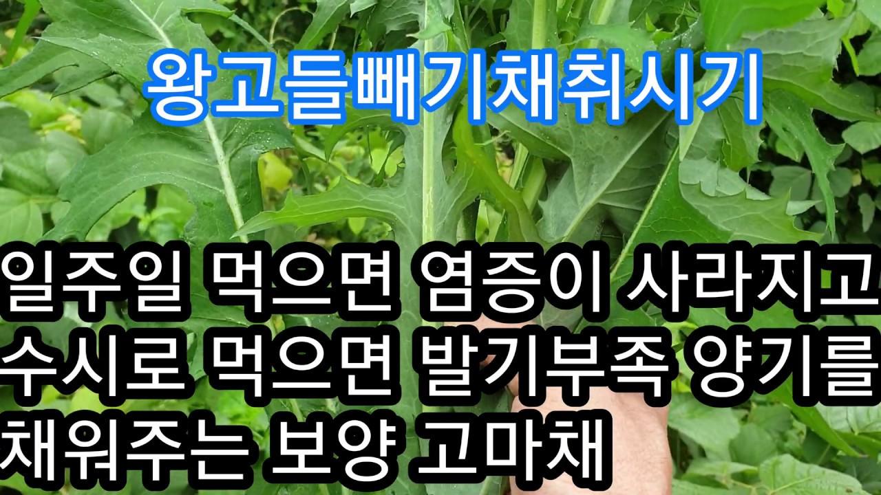 일주일먹으면 염증이사라지고 수시로 먹으면 발기부족 양기를 가득채워 주는 고마채 왕고들빼기 효능