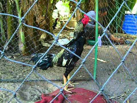 ไก่พม่ารำวงเหล่าหว้า2