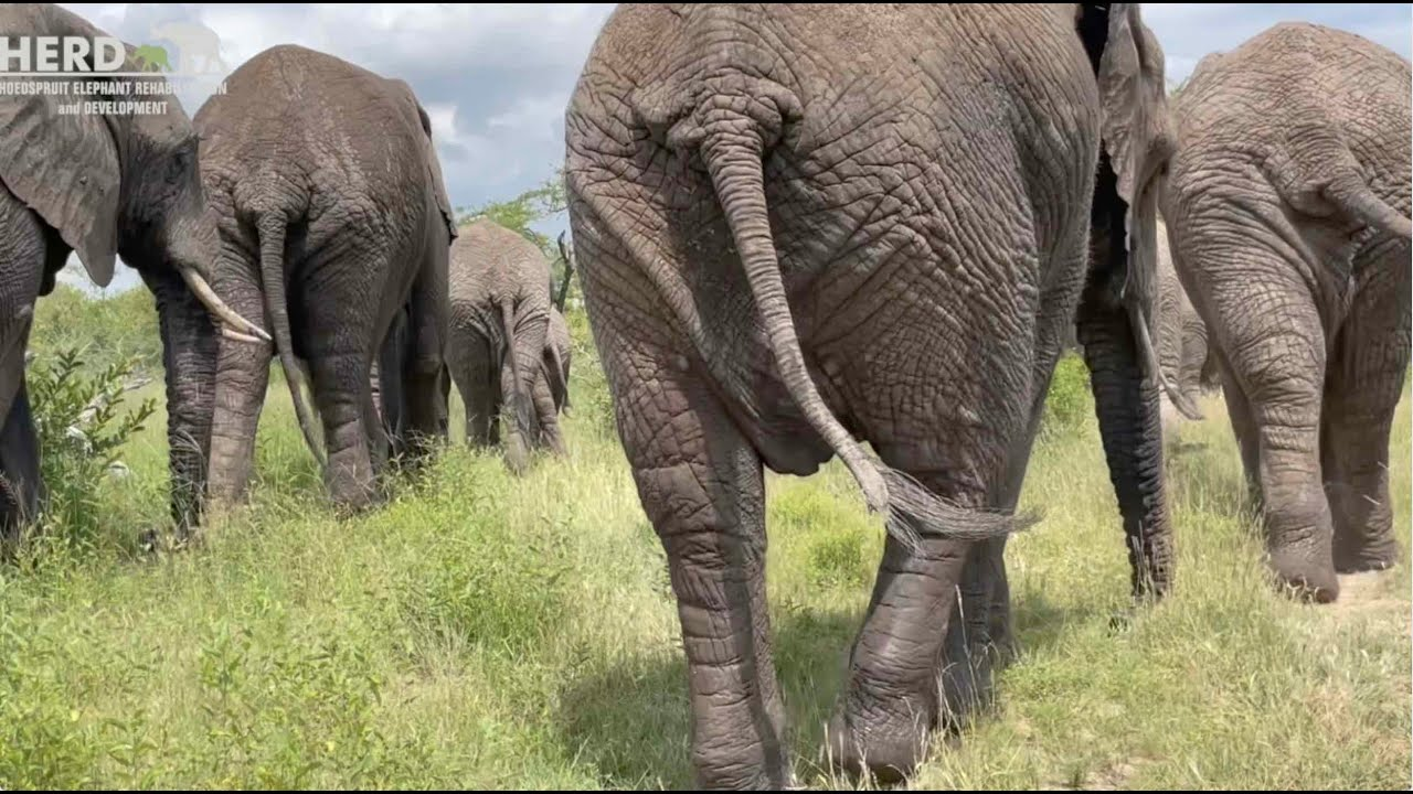 The Graceful Grey hue of Gentle Giants🐘🐘 gliding through the bush