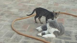 Parcian cat with HARYANA cat