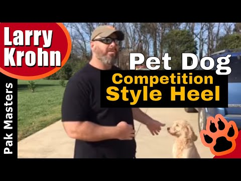 How to teach an average pet dog a competition style heel