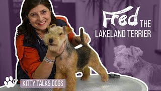Grooming Fred the 5month old Lakeland Terrier | Kitty Talks Dogs  TRANSGROOM