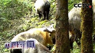 [中国新闻] 四川绵阳:小寨子沟首次拍到羚牛家族活动影像 | CCTV中文国际