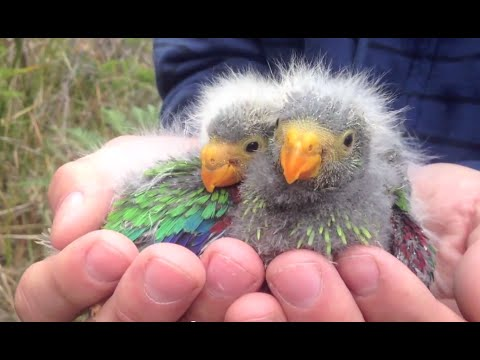 Tasmania's swift parrot set to follow the dodo