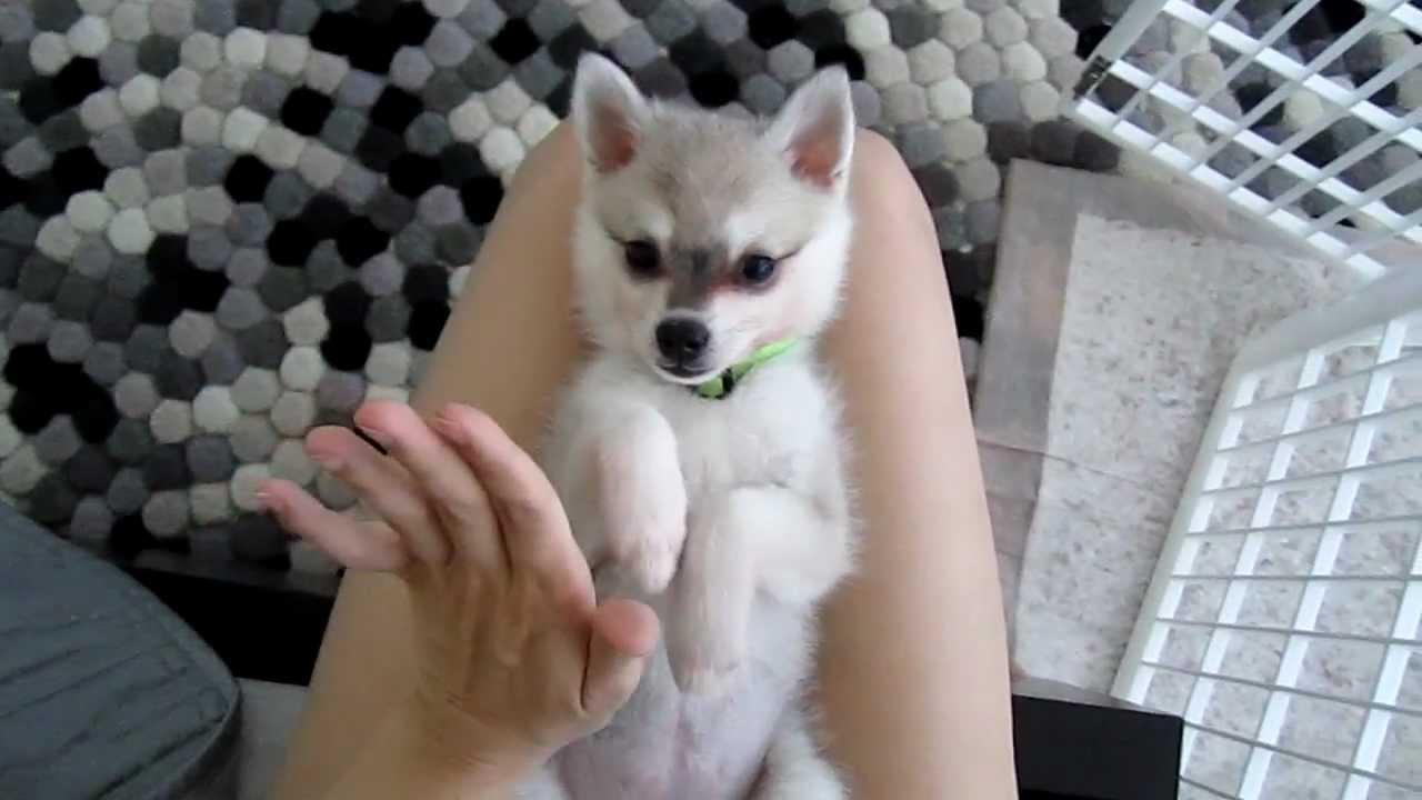 Alaskan Klee Kai Loves To Hi Five Youtube