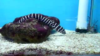 Aquaristic Aquarium: Zebra Moray Eel