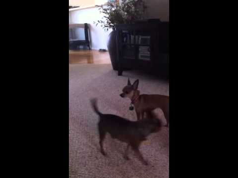 Dog sniffing and licking butt!