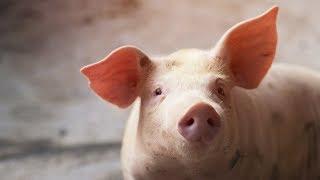 tratament pentru limbrici la porci