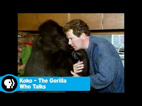KOKO - THE GORILLA WHO TALKED | Koko and Celebrities | PBS