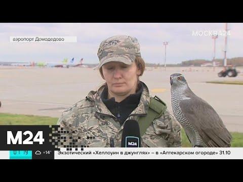 Как изменилась работа орнитологических служб столичных аэропортов - Москва 24