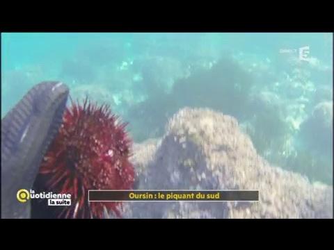 Oursin : le piquant du sud - La Quotidienne la suite - YouTube
