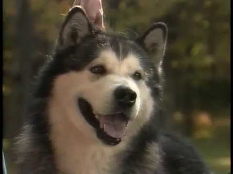 Alaskan Malamute - AKC Dog Breed Series