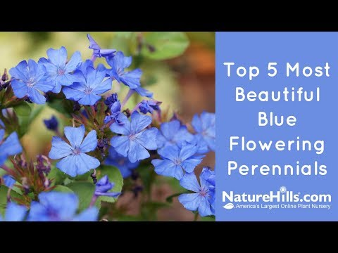 Top 5 Most Beautiful Blue Flowering Perennials   NatureHills.com