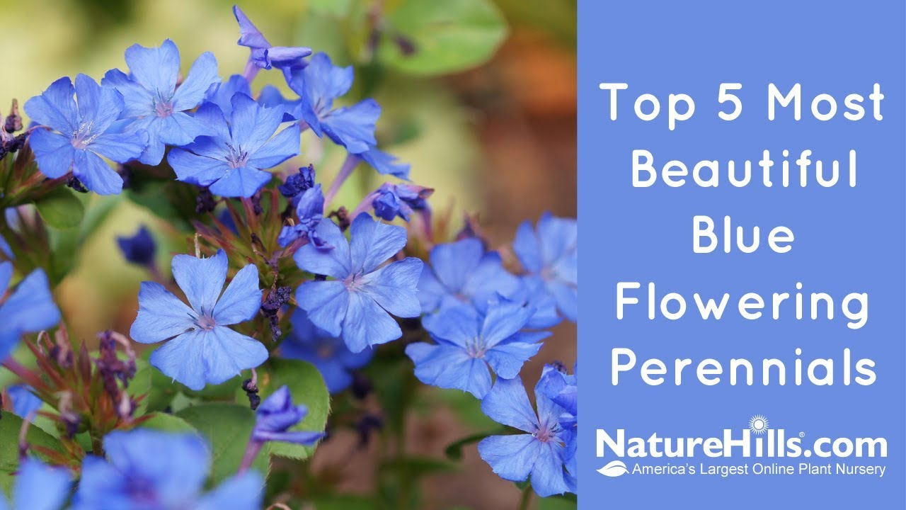 Top 5 Most Beautiful Blue Flowering Perennials Naturehills