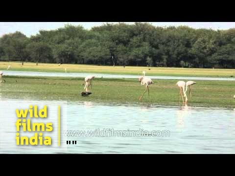 Pair of Sarus Cranes with flock of Greater Flamingos in Thol lake