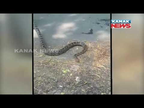 WATCH: Massive python sends Indian golf club into panic