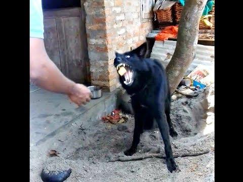 Feeding a Belgian Shepherd