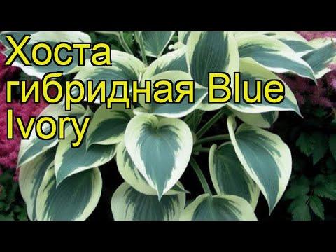 Хоста гибридная Синий Айвори. Краткий обзор, описание характеристик hosta hybrida Blue Ivory