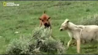 документальный Дикие волки против Медведи гризли