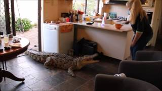 Crocodile Comes Inside House To Be Fed