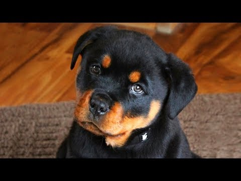 Cute Rottweiler Puppies Compilation