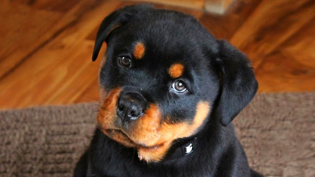 Cute Rottweiler Puppies Compilation Youtube