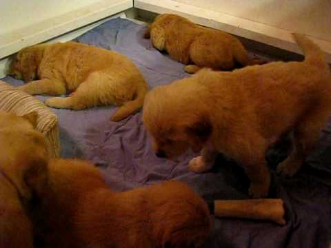 Puppies Crying in Whelping box