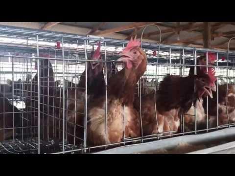 Olujobi farm ibadan Oyo state nigeria