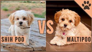 Shih Poo vs Maltipoo  Easy Comparison