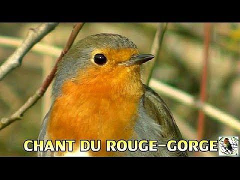 Chants d'oiseaux - Rouge gorge familier et gazouillis HD