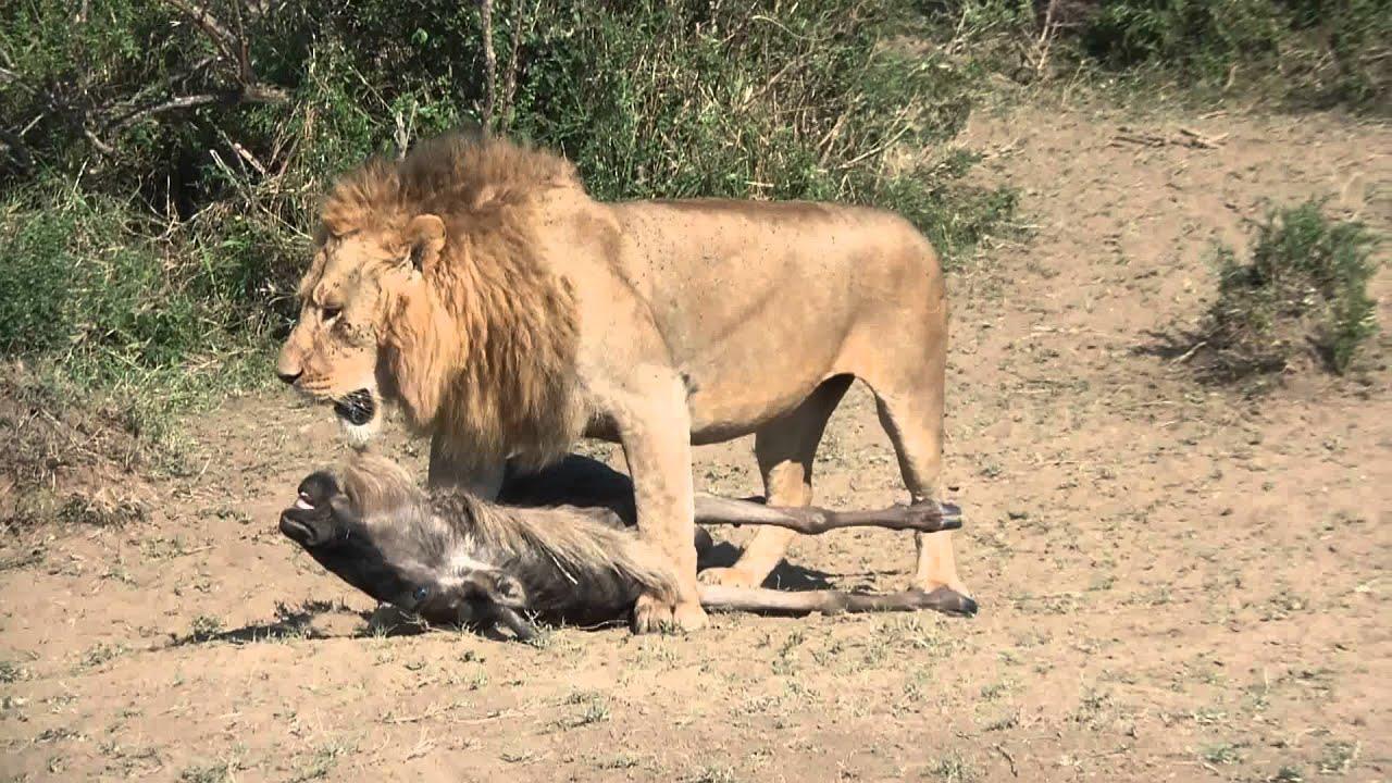 Big Dog Vs Lion
