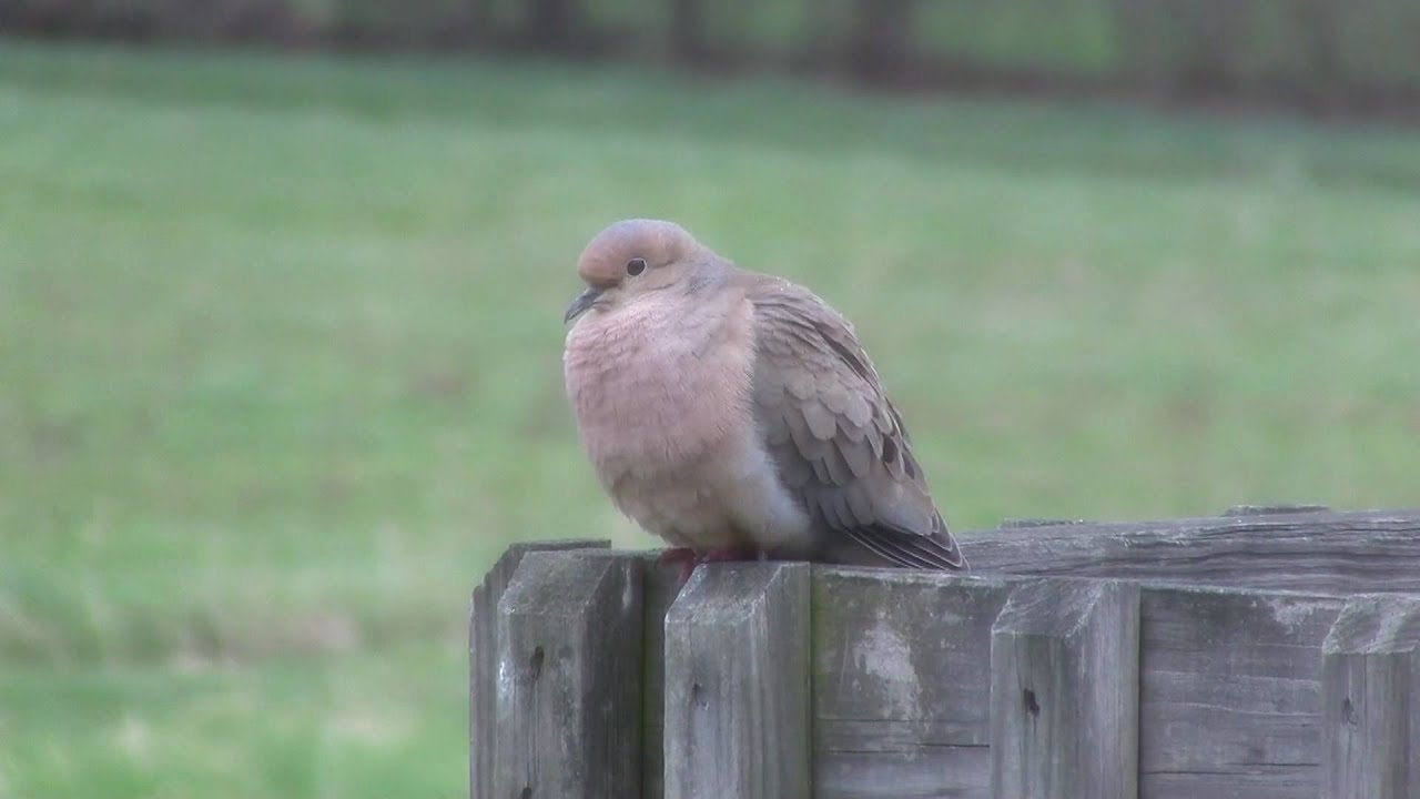 mourning dove coo youtube