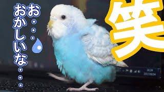 ご視聴ありがとうございます。 セキセイインコのぴーちゃんは羽繕いのと...