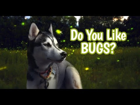 My Huskies Hilarious React To Bugs