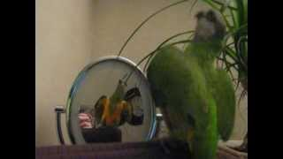 SENEGAL PARROT DANCING TO VITAS