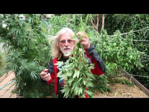 Grow Marijuana: Harvest Sativa Cannabis Today!