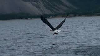 Awesome Bald Eagle photo shoot and fishing near Goose Arm
