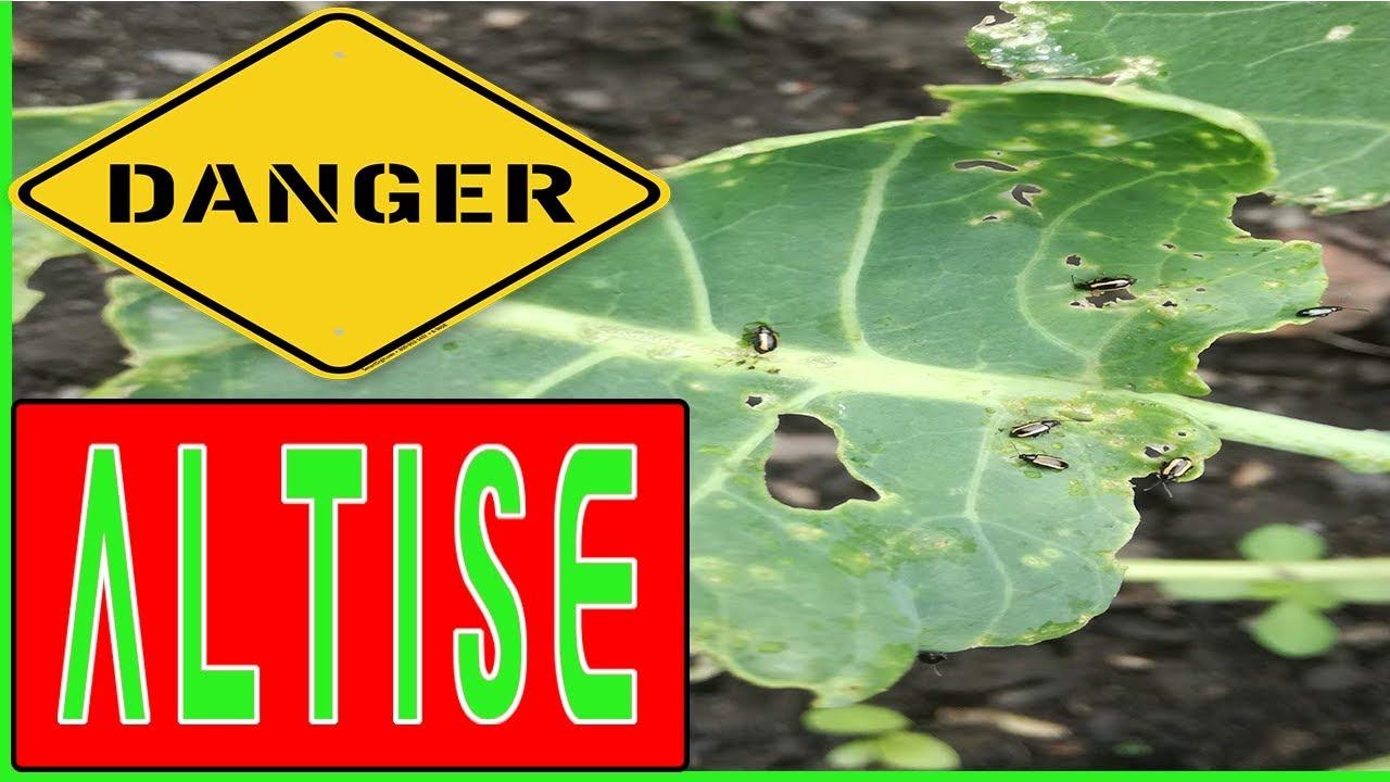 faut il avoir peur de la puce des jardins l'altise ? - youtube