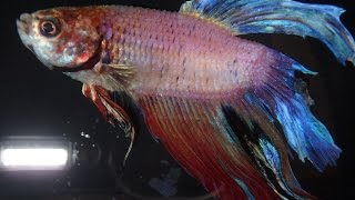 Full video my betta fish with dropsy for Sick betta fish