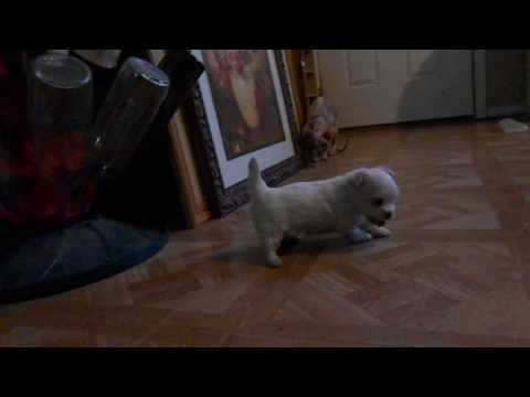 AKC Maltese  Ready 8-17 Scarlett and Starlett (With Spice as Supporting Actress)