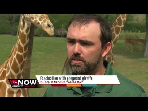 Thumbnail: Fascination with pregnant giraffe