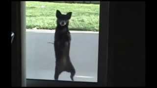 ПРИКОЛЫ С ЖИВОТНЫМИ Смешные животные, Танец Животных, Funny Dogs Dancing, Funny video,