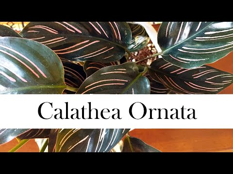 Calathea Ornata: Addy's Tips for Beginners (Pinstripe Calathea)