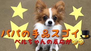 【パピヨンのベルちゃん】パパの手品⁉︎にナイスな反応をする犬🐶 thumbnail