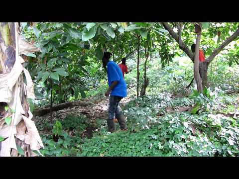 Cocoa harvest in Grenada