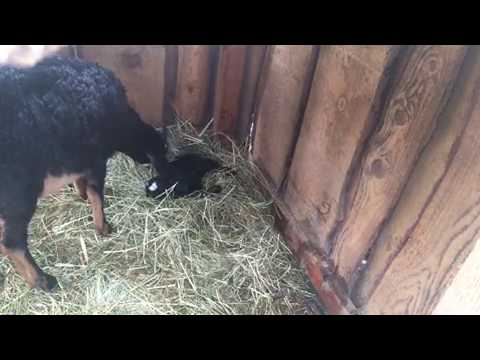 All Black Baby Goat Just Arrived