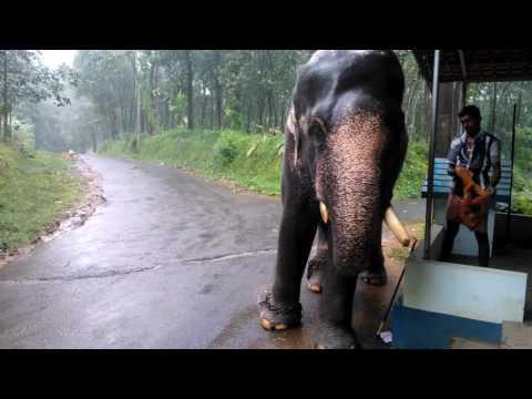 With elephant kerala enjoying rain