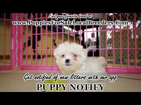 Teacup Maltese Puppies For Sale Georgia Local Breeders Near Atlanta Ga