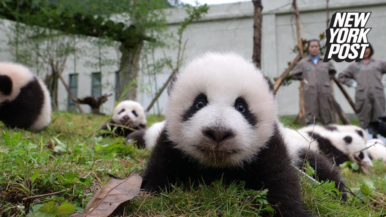 36 baby pandas ...